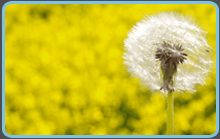 dandilion allergy